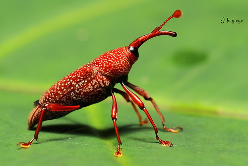 Weevil / Curculionoidea / ด้วงงวง