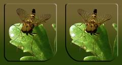 Male Ornate Snipe Fly, Chrysopilus Ornatus 5 - Cross-eye 3D (DarkOnus) Tags: macro male closeup insect lumix fly stereogram 3d crosseye pennsylvania ornate stereography buckscounty snipe crossview ornatus chrysopilus dmcfz35