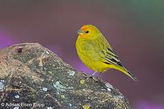 Saffron Finch, canário-da-terra-verdadeiro (eisenrupp) Tags: minas gerais birding aves da brazilian cerrado serra canastra merganser patomergulhão
