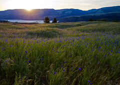 Rowena - Tom McCall Preserve (Debbie DS) Tags: flowers sunset oregon rowena tommccallpreserve