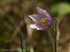 "Pasque Flower • <a style=""font-size:0.8em;"" href=""http://www.flickr.com/photos/63501323@N07/14314223825/"" target=""_blank"">View on Flickr</a>"