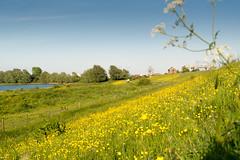 Dike landscape (stevefge) Tags: flowers holland netherlands yellow landscape nederland fields beuningen dike waal gelderland nederlandvandaag