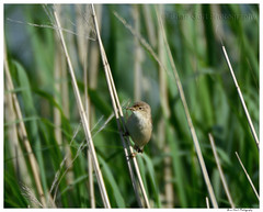 Woolston Eyes 40 015 (Brian Gort Wildlife Photography) Tags: uk morning wild brown sun sunlight bird eye reed nature insect early warrington eyes nikon cheshire wildlife feathers feather reserve sigma buff birdwatching warbler manfrotto woolston manfrottotripod d7100 300800mm sigmonster