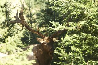Quebec Elk & Red Stag Hunt 31