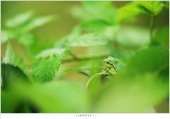 Boomkikker (NH003484) (nandOOnline) Tags: groen dier kikker bramen boomkikker hylaarborea amfibie braamstruik struweel braamstruweel