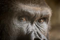 2014-05-07-11h04m46.BL7R7394 (A.J. Haverkamp) Tags: valencia zoo spain gorilla spanje dierentuin mambi bioparc westelijkelaaglandgorilla canonef100400mmf4556lisusmlens pobtwycrossengland httpwwwbioparcvalenciaes dob24031991