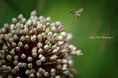 Welcome bee! (Terezaki ✈) Tags: travel pink summer flower macro green nature beauty photography photo moving nikon searchthebest d70 bokeh hellas athens bee greece tamron pictureperfect naturesfinest flowerscape ncg fiora anawesomeshot flickrdiamond theperfectphotographer natureselegantshots