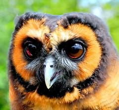 birds lincolnshire owl