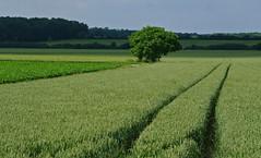 mon arbre fétiche (jmsatto) Tags: campagne arbre essonne hurepoix lesmolieres