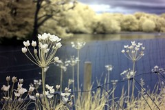 098 (jeannettetucker) Tags: red lake flower water forest ir pond infrared goldie infra epping connaught chingford