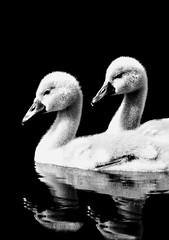 A Pair Of Cygnets (Pythagoras98) Tags: blackandwhite lake reflection water reflections swan cygnet swans cygnets waverley waverleyabbey abber