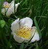 Fallen-2 (gomosh2) Tags: nybg whiteflowers treeflowers chinesestewartia greenbeautyforlife