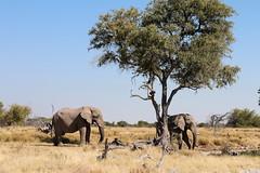 Elephants near water-hole (Vladimir Nardin) Tags: water hole bull elephants namibia etosha
