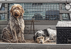 20140719_MastersBestMates_2646 (_Scorps_) Tags: street dog dogs animal blackwhite waiting country watching australian australia canine company ute nsw planet shaggy tied carpark animalplanet wagga shackled canines countrystyle leftbehind glenfieldpark shackeled conmfort