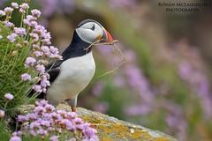 Puffin (Ronan.McLaughlin) Tags: ireland irish birds marine thrift maritime puffin ronan mclaughlin seapink auk sigma150500 nikond7100