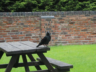 Jackdaw on a picnic