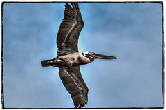 pelican in flight-Edit.jpg