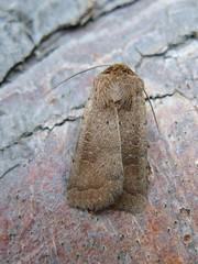 The Rustic - Hoplodrina blanda (little-acorns) Tags: garden insect wildlife moth isleofman lightbox ramsey invertebrate lepidoptery mothtrap therustic hoplodrinablanda flickrandroidapp:filter=none