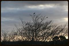 Pale sunset, birds fly (Zelda Wynn) Tags: winter sunset tree nature birds clouds cloudy auckland newlynn zeldawynnphotography