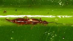 Earwig (Ecuador Megadiverso) Tags: naturaleza macro southamerica nature fauna bug insect ecuador wildlife natur inseto equateur makro insekt arthropoda insetto insecte earwig equador biodiversity arthropod insecto sdamerika dermaptera neotropical neotropics andreaskay