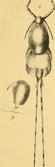 Anglų lietuvių žodynas. Žodis oviferous reiškia avižiniai lietuviškai.