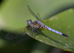 Pachydiplax bleu   / Pachydiplax longipennis / Blue Dasher (anjoudiscus) Tags: canada nature insect dragonfly wildlife ange qubec granby juillet insecte libellule dasher d800 2014 odonata bluedasher pachydiplaxlongipennis  odonate lacboivin micronikkor105mmvr pachydiplaxbleu sentiermarcage