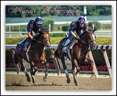 Morley Duo (EASY GOER) Tags: horses horse ny sports racetrack race training canon team track competition racing 7d athletes sporting 56 thoroughbred equine thoroughbreds gallop riders belmontpark 400mm