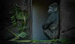 Kibali  Western Lowland Silver Back Gorilla (Lea Duckitt) Tags: africa male forest zoo gorilla sydney australia ape endangered captive primate tarongazoo herbivore silverback criticallyendangered westerngorilla wildlifewednesday
