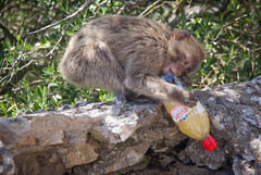 Macaque Stole some Energy Drink on The Rock of Gibraltar (ChrisGoldNY) Tags: travel sea mountains english history water canon poster spain rocks europa europe mediterranean forsale famous places espana viajes posters albumcover historical british bookcover traveling gibraltar bookcovers colony albumcovers licensing colonies therockofgibraltar britishcolony britishcolonies chrisgoldny chrisgoldberg chrisgold chrisgoldphoto chrisgoldphotos