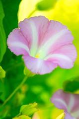 Morning Glory Glow (imageClear) Tags: light wild summer flower macro beauty wisconsin nikon flickr glow flor lakemichigan shore lakeshore lovely morningglory sheboygan photostream macrophotography 105mm d7000 imageclear
