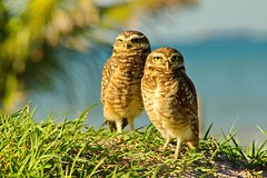 Couple Shield (Diego S. Mondini) Tags: specanimal owl coruja praia beach bird brasil brazil santacatarina sc dof ave pássaro ubatuba couple athenecunicularia