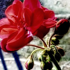 géranium (domiloui) Tags: flowers flower macro fleur composition fleurs flickr jardin lumiere lorraine couleur documentaire cooliris naturallive blinkagain