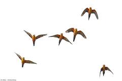 Jandaya Parakeet - Aratinga jandaya