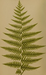 Anglų lietuvių žodynas. Žodis scaly fern reiškia žvynuotas paparčio lietuviškai.