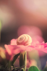 Garden of Joy (AlyKPhoto) Tags: pink plant flower macro cute nature grass canon garden happy 50mm soft empty small shell snail sigma tiny 6d