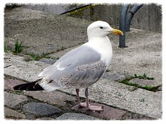 European herring gull, Silbermöwe, Goéland argenté (v8dub) Tags: bird nature animal germany deutschland european gull natur bio vögel allemagne oiseau stralsund herring tier piaf larus goéland argentatus argenté silbermöwe biodiversité