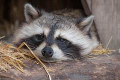 IMG_0750 (Eric Gillardin-Thomas) Tags: zoo loup animaux parc tortue canard ours chevre daim cerf paon oie cigogne biche saintecroix lmurien
