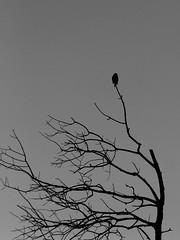 lonely (Darek Drapala) Tags: trees light blackandwhite bw tree bird nature birds silhouette dark lumix blackwhite poland polska panasonic shade g2 panasonicg2