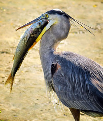 Ambitious Goals (Jeff Clow) Tags: greatblueheron ambition goals optimist fish nature outdoors outside usa texas southpadreisland large impressive unusual big heron