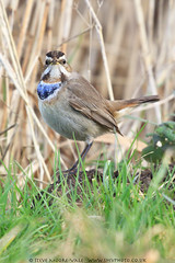 Bluethroat (Steve Moore-Vale) Tags: birds bluethroat england florafauna lincolnshire lusciniasvecica male places unitedkingdom wildlife willowtreefen winter portrait