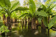 Ile Maurice 2016 - 02 --192 (bebopeloula) Tags: 2016 ilemaurice jardindepamplemousses mauritius nikond700 supershot photo robert crosnier