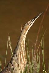 American Bittern (hennessy.barb) Tags: bittern americanbittern botauruslentiginosus thunderpumper bird wadingbird