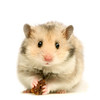 Hamster by geelorry http://flic.kr/p/6Z6WcP (HamHamWonderland) Tags: gerbil hamster parasite parasitic eat eating star staring concept conceptual food white animal furry fur mischief isolated cuddly cute curious hungry greedy sneaking funny domestic domesticanimal sneaky closeup paws nose eye looking pet pets smelling portrait pest hair hairy ear sweet whiskers humorous humour begging thief rodent mammal fuzzy