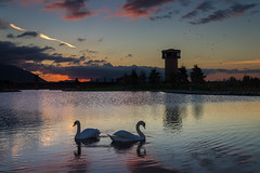 Couple At Sunset (pepsamu) Tags: duck pato sunset water agua tralee animals animales lake lago eire ireland irlanda 2016 canon 1100d observationtower cisne swan couple pareja ocaso reflections reflejos romantic romántico