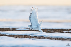 Snowy Owl Takeoff in the Waning Evening Light (Glatz Nature Photography) Tags: alberta bird birdofprey buboscandiacus canada glatznaturephotography nature nikond5 northamerica owl predator raptor snowyowl wildanimal wildbird wildlife liftoff wingspread rimlighting takeoff birdsinflight onthewing calgary