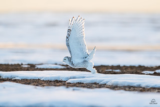 Snowy Owl Takeoff in the Waning Evening Light