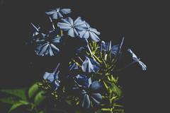 Moody Blue (lazytinka) Tags: blue plumbago flowers nature matte odc