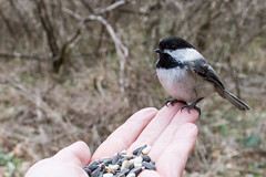 A Bird In Hand Is Worth Two In the Bush (hmthelords) Tags: chickadee nature outdoors activeassignmentweekly bestofweek1 bestofweek2 bestofweek3