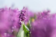 DSCF8477 (Sixtyfour) Tags: hyacinthus pink purple flower fujifilm xt1 xf56mm