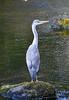 Llugwy Heron 1 (Lord Edam) Tags: river afon llugwy conwy wildlife morning water rocks fields birds heron